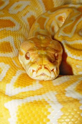 Yellow Snake Wallpapers